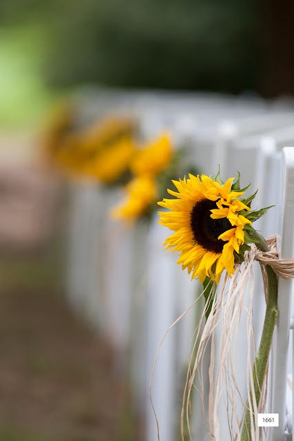 A single stem of sunflower create a beautiful line of pew markers for this outdoor country wedding
