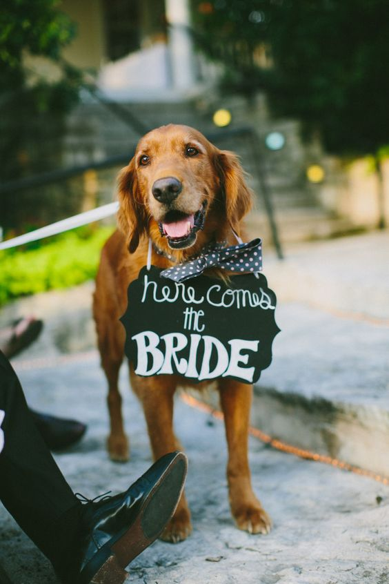 dogs at wedding-cute ring bearer photo