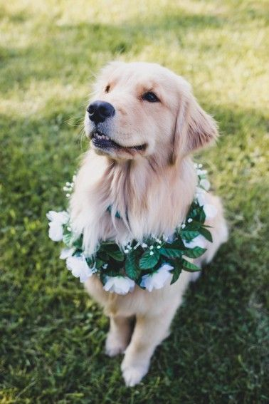 funny golden retriever puppy at a wedding