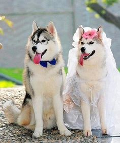 funny husky at wedding