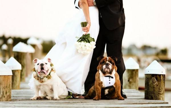 interesting pitbull at wedding